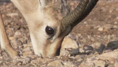 Chinkara Grazing In A Desert