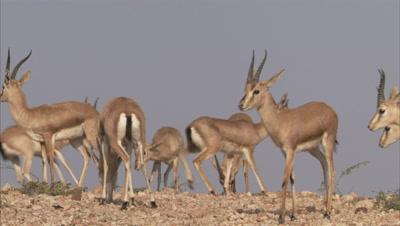 Herd Of Indian Gazelles,Chinkaras Grazing In Desert