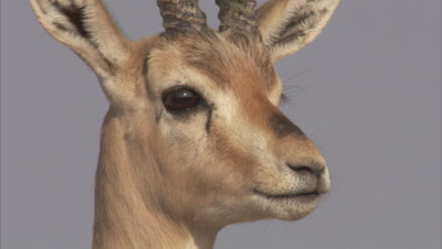 Portrait Of Indian Gazelle,Chinkara