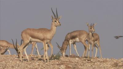 Herd Of Indian Gazelles,Chinkaras Grazing In Desert,A Pair butts heads