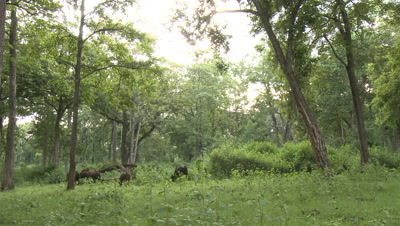 Group of Gaur Graze in Forest