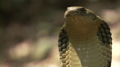 Close Up Of King Cobra In Forest Clearing with flared hood