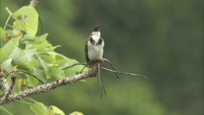 Red Whiskered Bulbul Flies From Branch