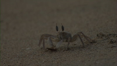 Fiddler Crab With Prey,hit by wave