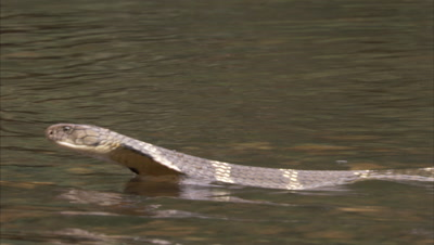 King Cobra Swims Across Water