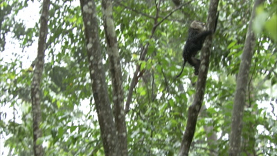 Lion-tailed Macaque Climbs Tree in Rainforest
