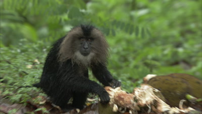 Lion-tailed Macaque Feeding On Jackfruit