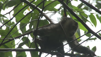 Baby Lion-tailed Macaque Climbs Tree in Rainforest,Returns to Mother