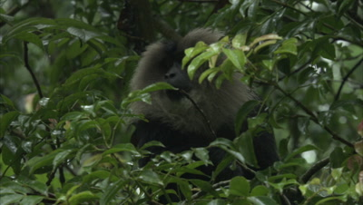 Lion-tailed Macaque in Rainforest