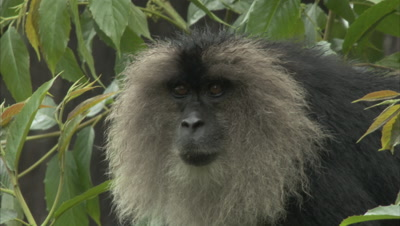 Close Up Of Lion-Tailed Macaques Eating Figs
