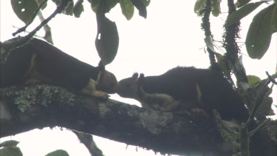 Malabar Giant Squirrels Groom And Nuzzle Each Other