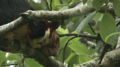 Malabar Giant Squirrel Resting On A Branch Of A Tree