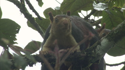 A Pair Of Malabar Giant Squirrels On A Branch Of A Tree