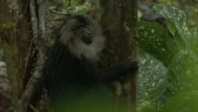 Lion-Tailed Macaque Play Fighting On Fig Tree