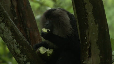 Lion-Tailed Macaque Sits In Tree Feeding on Figs