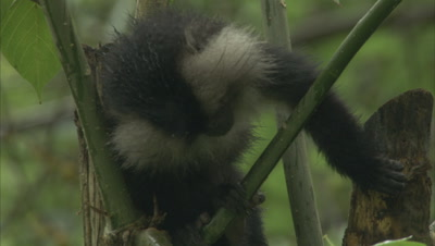 Young Lion-Tailed Macaque Climbing in Tree,Feeds on leaves