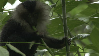 Young Lion-Tailed Macaques Clambering About And Trying To Eat Leaves And Stems
