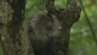 Young Lion-Tailed Macaques Holding Onto A Branch Of Tree