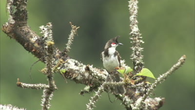 Red-Whiskered Bulbul Perched in spiny tree