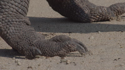 Komodo Dragon prowling shoreline on gritty beach; close up of dragon's feet and claws