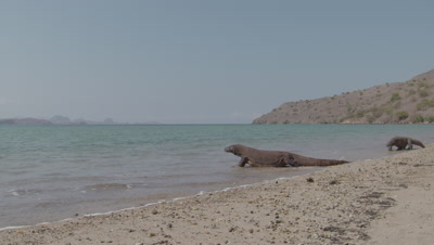 Komodo Dragon prowling shoreline on gritty beach with island and sea in background