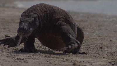 Komodo Dragon prowling shoreline on gritty beach