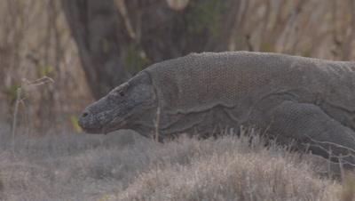 Komodo Dragon walking in dry grassland