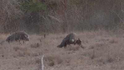 Komodo Dragons in dry grassland