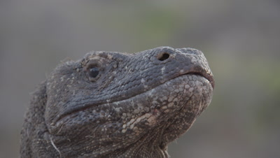 Komodo Dragon in dry grassland landscape; view of inside of the dragon's mouth