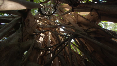 Shot looking up into strangler fig tree roots, backlit by sunlight