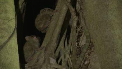 Spectral tarsiers clinging to branch of strangler fig tree