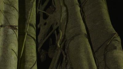 Spectral tarsier clinging to branch of strangler fig tree