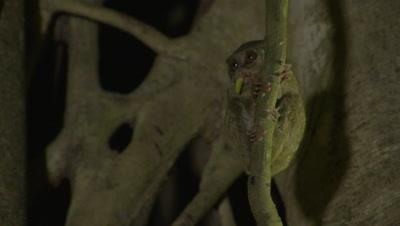 Spectral tarsier in strangler fig tree feeding on insect