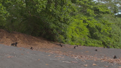 Black crested macaque troop on black sandy beach displaying various behaviours