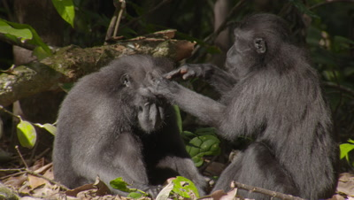 Black Macaques grooming each other on the forest floor