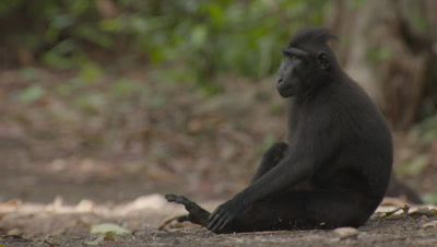 Black Crested Macaque rests on forest floor, then stands and walks off camera