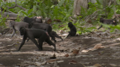 Black Crested Macaque troop traveling across forest floor