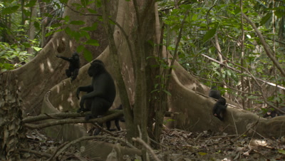 Young Black Crested Macaques climbing and playing on the forest floor as an adult rests nearby