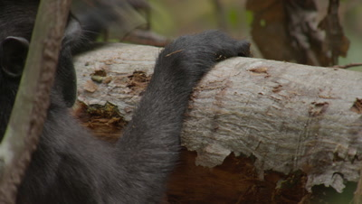 Black Crested Macaque peeling and eating bark off a tree