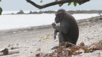 Black Crested Macaque feeding on coconut on sandy shore next to forest