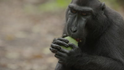 Black Crested Macaque feeding on a mango on forest floor