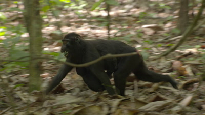 Black Crested Macaques, inluding a mother and baby, eating and foraging on forest floor