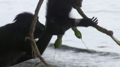 Black crested macaques licking water from leaves overhanging sea