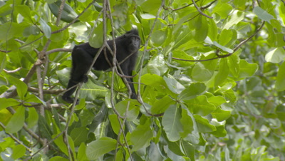Black Crested Macaque climbing through tree branches, foraging for food