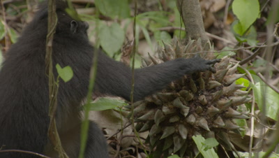 Black crested macaque trying to break into durian fruit