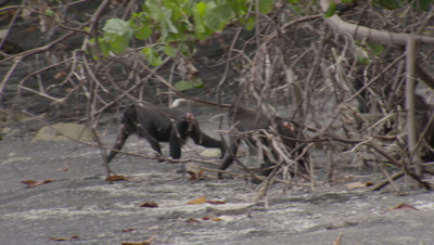 Black crested macaques drink seawater from shallow surf on sandy shoreline next to forest