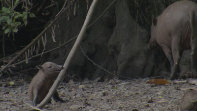 Babirusa family foraging at Adudu salt lick in Nantu Forest; young Babirusa piglet chews on a tree branch
