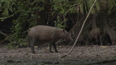 Babirusa family foraging at Adudu salt lick in Nantu Forest; also displaying some social behavior