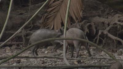 Young Babirusas fighting as Babirusa family forages at Adudu salt lick in Nantu Forest