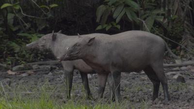 Babirusa family foraging at Adudu salt lick in Nantu Forest stand alert, then run off camera